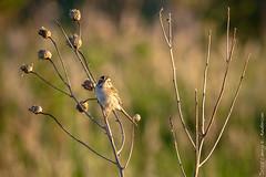 Clay-colored Sparrow (Larry E. Anderson) Tags: biome camdenstatepark claycoloredsparrow ecosystem minnesota spizellapallida bird goldenhour passeriformes passerines prairie seasons songbirds spring
