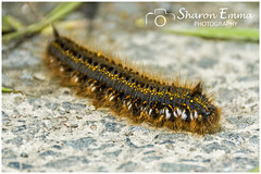 The Drinker Moth Caterpillar (Euthrix Potatoria) (Sharon Emma Photography) Tags: thedrinkermothcaterpillar drinkermoth caterpillar moth euthrixpotatoria hairy hairycaterpillar hairs black yellow orange white insect lepidoptera insecta wild wildlife nature naturalworld nationalhistory ngc cornwall southernengland england britain uk nikond7200 nikon d7200 sharonemmaphotography sharondowphotography may2018 2018
