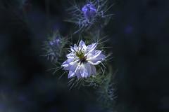 Belle de nuit (S@ndrine Néel) Tags: nigelle nigellededamas flower fleur flora bloom blossom neelsandrine