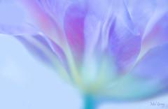 Light-&-breezy_DSC7744 (Mel Gray) Tags: tulip macroflower macroflowerlovers nikon105mmmacro flower floralart flowerabstract flowersarebeautiful