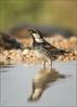 Weidensperling (Spanish sparrow) (tzim76) Tags: weidensperling passer hispaniolensis spanish sparrow trinken tränke wasser wüste desert negev israel wildlife nature outdoor hide