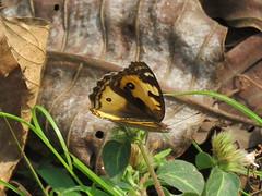 Junonia hierta (dhobern) Tags: 2018 china lepidoptera march xtbg xishuangbanna yunnan nymphalidae nymphalinae junoniahierta