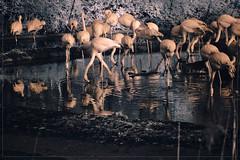 2018 03 30 Tierpark Karlshorst IR 720nm - 233 (Mister-Mastro) Tags: flamingos tierpark zoo karlshorst berlin ir infrared fullspectrum 720nm