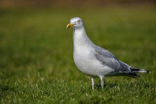 big bad gull