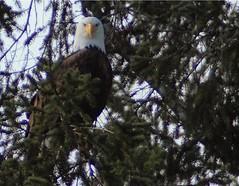 I was spotted (briannalhendricks) Tags: pnw washington lakes wildlife birdphotography eaglephotography baldeagle eagle