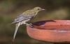 olive-backed oriole (Oriolus sagittatus)-5735 (rawshorty) Tags: rawshorty birds canberra australia act symonston
