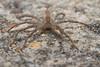 Nursery Web Spider (strjustin) Tags: nurserywebspider spider arachnid insect bug macro