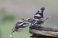 Grosbec casse-noyaux (Guy&Nicole) Tags: coccothraustescoccothraustes fringillidés grosbeccassenoyaux hawfinch passériformes bird oiseau