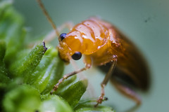 IMG_1199 (Maruf Shimanto) Tags: macro photography bangladesh reversed 1855lens insect