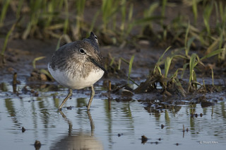 Green Sandpiper_MG_0364