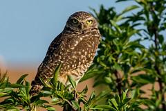 Burrowing Owl up a Tree (MelRoseJ) Tags: davis california unitedstates us a77ii alpha autofocus sonyalpha sony sonyilca77m2 sal70200g nature owl borrowingowl