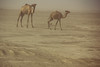 seeing double (rick.onorato) Tags: africa ethiopia afar region camels