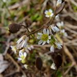 Whitlow Grass thumbnail