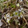 Whitlow Grass (Dendroica cerulea) Tags: whitlowgrass drabaverna draba brassicaceae brassicales flower white plant shadflower nailwort vernalwhitlowgrass earlywitlowgrass springdraba spring highlandparkmeadows highlandpark middlesexcounty nj newjersey