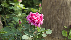 A pink rose at Egypt's Spring Flowers Fair 2018 (Kodak Agfa) Tags: egypt giza flowersshow flowers plants green flowersshow2018 africa mena middleeast northafrica parks gardens spring flowersfair fairs flowersfair2018 botanicalgardens ormanpark ormangarden thisisegypt الربيع معرضزهورالربيع مصر الزهور pink rose 500px