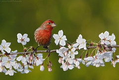 House Finch and Cherry Blossoms (Cameron Darnell) Tags: cherryblossom housefinch nature april 2018 animal bird cameron tamron canon finch birding flowers perch light haemorhous