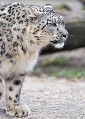 Snow leopard looking not too friendly (Tambako the Jaguar) Tags: snowleopard big wild cat standing profile unhappy mean unfriendly portrait basel zoo zolli switzerland nikon d5