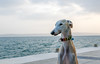 Dog at beach (wuestenigel) Tags: split greyhound water dog sea croatia galgo beach seaside noperson keineperson meer wasser strand ocean ozean outdoors drausen sky himmel summer sommer nature natur mammal säugetier one ein hund fairweather schöneswetter sand animal tier seashore travel reise portrait porträt sun sonne fun spas