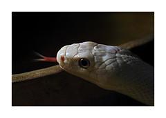 044 of 365 - Wild (Weils Piuk) Tags: snake vibora albino tongue contrasts opposites closeup wild serpentarium mendoza trapped fish tank cage crystal sad forbid zoos now photoblog365 nature