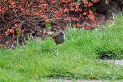 This looks like a good place to hop about. (DebbieFirkins) Tags: bird garden feathers beak ornithologist watching exposed peaking grass standing brown speckled
