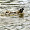 Back stroke (dan487175) Tags: bear swimming polarbear wet water teeth smile sack fun playing pool