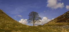 Sycamore Gap (Ian Emerson (Thanks for all the comments and faves) Tags: historic history hadrianswall england heritage defence roman tree sycamore alone minimal clouds englishheritage nationaltrust hiking northumberland hexham sky beauty scenic