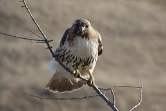 Red-tailed hawk (alex_7719) Tags: bird animal hawk redtailedhawk toronto ontario canada downsviewpark buteojamaicensis торонто онтарио канада птица краснохвостыйсарыч ястреб