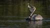 Brown Pelican (Pelecanus occidentalis) (ER Post) Tags: bird brownpelicanpelecanusoccidentalis florida2018 pelican trips