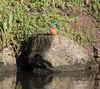 Kingfisher (Mukumbura) Tags: kingfisher bird fish fishing catch water splash flying wildlife england alcedoatthis bishopspalace moat wells somerset nature wall rock
