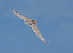 shorty and the vole (knobby6) Tags: shortearedowl shorty owl raptor birdofprey hunter california nikond5 600mm