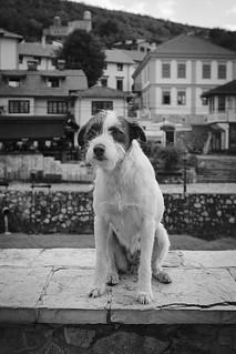 The dog in Kosovo