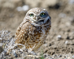 Burrowing Owl (Becky Matsubara) Tags: athenecunicularia avian buow bird birds burrowingowl chevêchedesterriers nature outdoors owl tecolotellanero wildlife