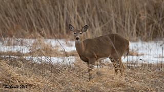 Cerf de Virginie / Whitetail deer