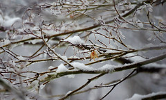 It's snowing... again (Violet aka vbd) Tags: pentax k3 vbd hdpentaxda55300mmf4563edplmwrre ct connecticut snow newengland snowstorm branch leaf 2018 winter2018 handheld manualfocus