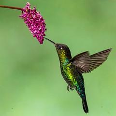 Costa Rican Gem (gecko47) Tags: bird hummingbird trochilidae fierythroatedhummingbird panterpeinsignis flight hovering feeding flowers nectar multiflash costarica paraisoquetzallodge