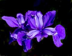 Iris, purple (vern Ri) Tags: iris purple blue flower flora fiori fleur blumen fuji