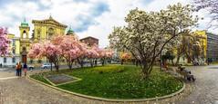 Primavera milanese (forastico) Tags: forastico d7100 milano lombardia primavera magnolia piazza