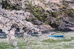 千鳥ヶ淵     Chidoriga-fuchi (Jennifer 真泥佛) Tags: 千鳥ヶ淵 chidorigafuchi 花筏 櫻花 桜 tokyo japan spring