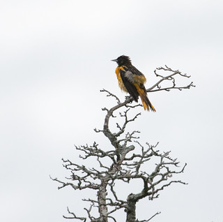 Drenched Oriole