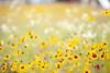 L1020398c (haru__q) Tags: leica m8 leicam8 leitz xenon flower 花 yellow 黄色