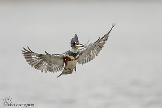 Female Belted Kingfisher with fish.