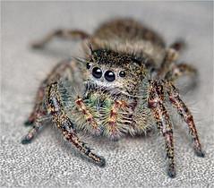 Mailbox jumping spider (Small Creatures) Tags: iscogottingen d40 jumpingspider nikond40 phiddipus macro telewestanar 135mm spider vintagelens closeup