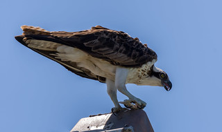 Osprey feasting in Kiwanis Island Park