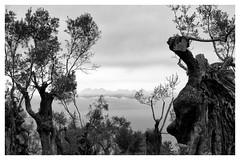 nuvol i oliveres (miquelet) Tags: arbre nuvol blancinegre mallorca