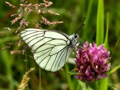 Gazé - Piéride de l'aubépine (David Bertholle) Tags: gazé piéride aubépine papillon butterfly wings aporia crataegi blackveined white macro makro nature insect nikon d7200 sigma ngc