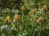CF003127 (Paul Henegan) Tags: mamiyasekord645zoomaf75~150mm145snhh3007 blossom blur flower garden highlights iris selectivefocus shadows buds