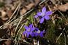 Sinilill kärbsega (Jaan Keinaste) Tags: pentax k3 pentaxk3 loodus nature sinilill kärbes fly hepatica liverleaf hepaticanobilis tair345300 lill flower