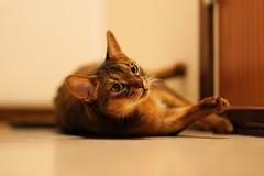 Lizzie you fool (DizzieMizzieLizzie (Down for a while)) Tags: abyssinian aby lizzie dizziemizzielizzie portrait cat feline gato gatto katt katze kot meow pisica sony neko gatos chat fe ilce 2018 ilce7m3 a7iii sel85f14gm pose classic curious inquisitive pet 85mm fool golden playful