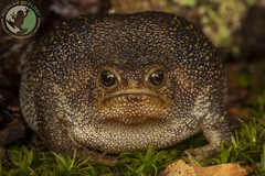 Breviceps verucosus - Plaintive Rain Frog (Nicolauecology) Tags: breviceps verucosus plaintive rain frog hogback eastern cape south africa amphibians herps herping herpetology herp forest macro canon 100mm wildlife rare gary kyle nicolau ecology nature explore travel