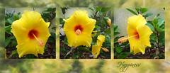 Happiness (boeckli) Tags: flowers flower flora fleur yellow gelb hibiscus hibiskus plants plant pflanzen pflanze outdoor triptych textures texturen texture textur tóta þórunnþorsteinsdóttir doublefantasy